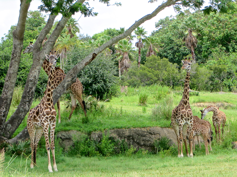 Finding Giraffes, Dinos, and Cookies at Disney's Animal Kingdom
