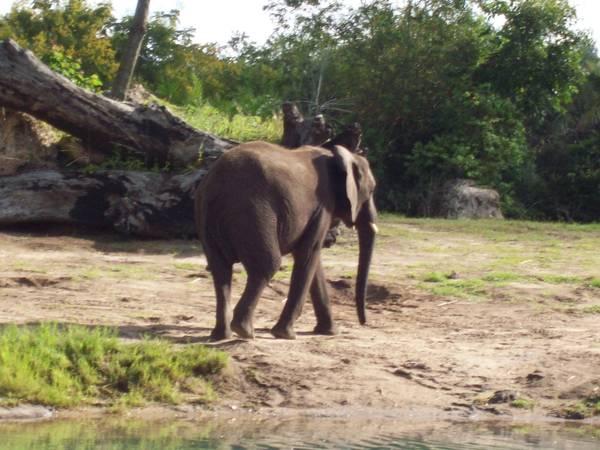 Elephant at Kilimanjaro Safari