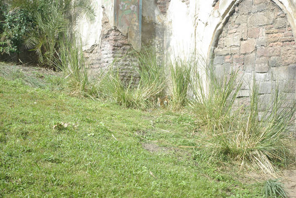 Tiger_in_Grass_by_Wall