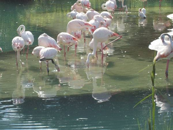 Flamingos in Disney's Animal Kingdom