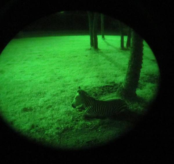 Night Safari at Animal Kingdom Lodge pics